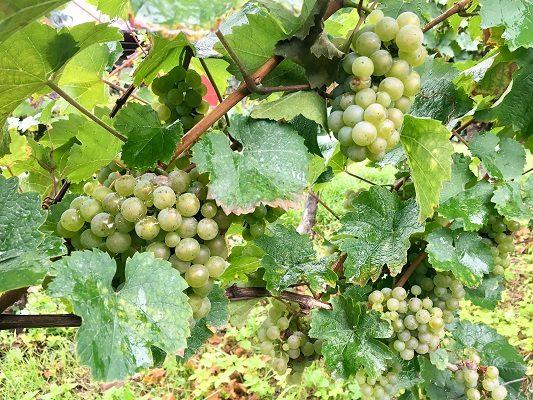 Saksan viinimatka riesling rypäleet St Wine and Friends viinikerho